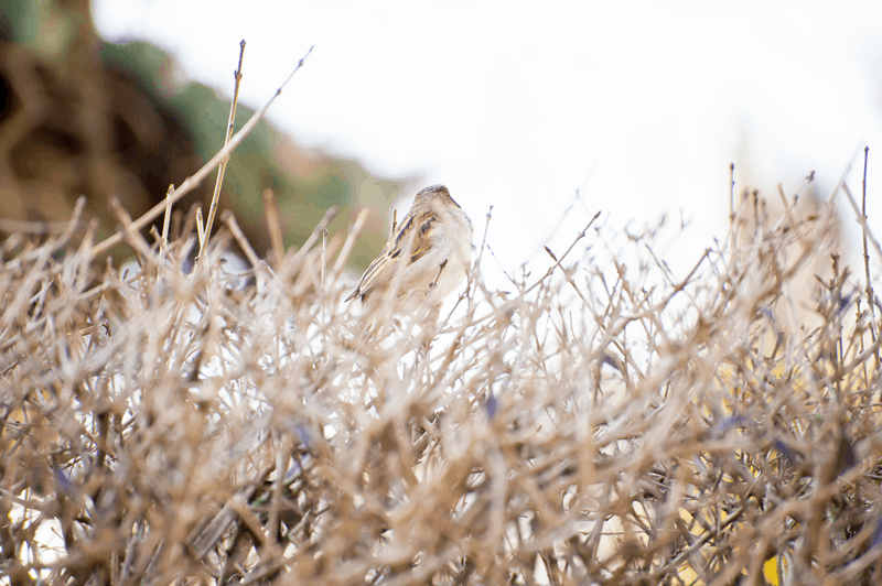 sparrow on the hedge, instant, moment